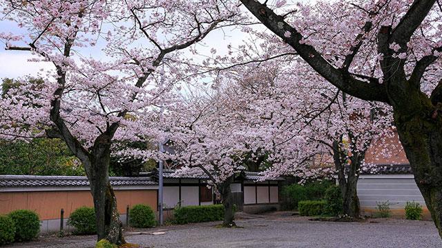 ソメイヨシノ(妙蓮寺)
