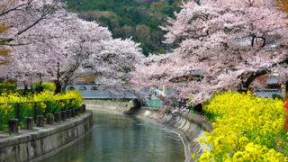 京都 山科疏水(琵琶湖疏水)水路沿いの桜並木が美しい散策に最適な場所