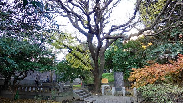 楷樹(湯島聖堂)