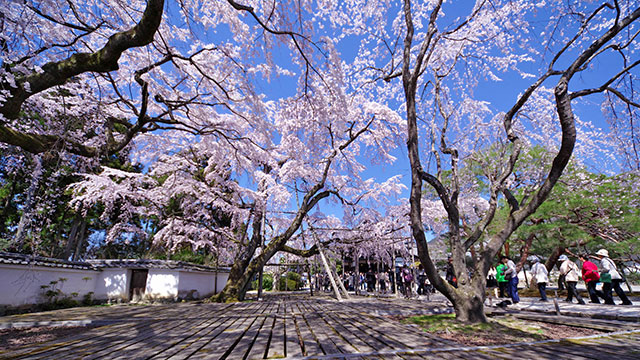 春(醍醐寺)