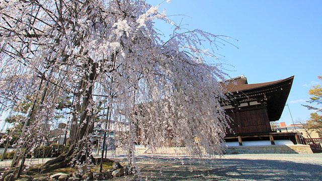 おかめ桜(大報恩寺)