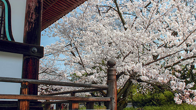 境内の桜(本法寺)