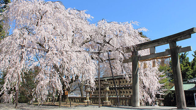 大石桜(大石神社)