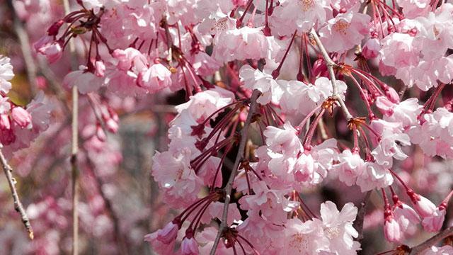 枝垂桜(天寧寺)