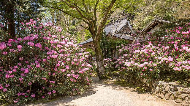 シャクナゲ(室生寺)