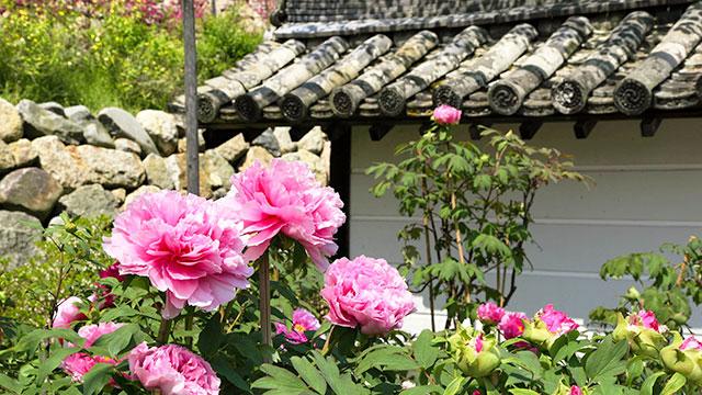 牡丹(奈良 長谷寺)